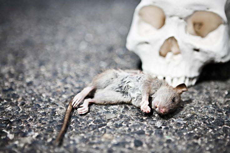 Во все времена именно грызуны были переносчиками самых опасных болезней. Нынешний коронвариус человек получил от летучих мышей.